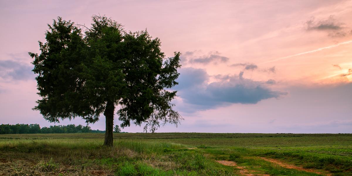 Stoic Cedar - Tree - Photo